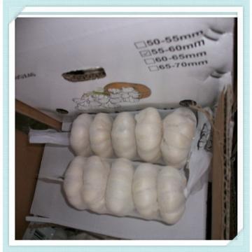 China Natural Fresh Garlic New crop garlic from cold storage begin to supply