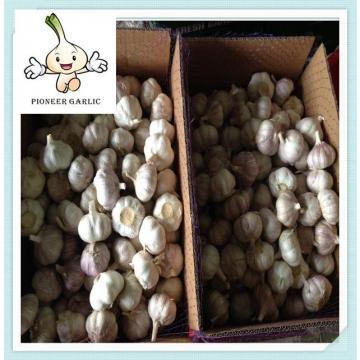 5.5cm red garlic packing in mesh bag 2015 fresh garlic shandong