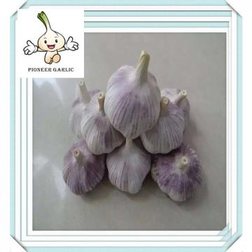 Biggest expoter Chinese fresh white garlic 5.0cm 5.5cm pure white carton garlic