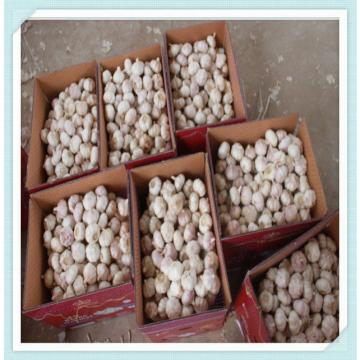 2015 fresh pure white garlic with lowest price in New Season