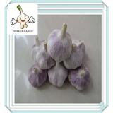 best design new product 5.0cm garlic Factory In China