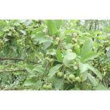 Fresh Golden Green Apple Contains Vitamin C For Slimming , Beauty