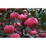 Sweet No Wounds Fresh Fuji Apple Contains Sugars , Zinc For Supermarket, Superior quality, More resistant to storage