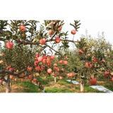 Grade A , B Red Fresh Fuji Apple Sweet Tasty For Apple Crisp / Cake, Golden yellow fruit surface, glossy