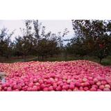 Health Benifits Delicious Red Fuji Apple No Stain Long With Shelf Life