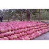 Juicy Procyanidin B2 Red Fuji Apple Fresh Preventing Colon Cancer