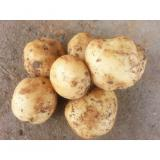 Round NaturalOrganic Potatoes No Fleck Containig Protein , Carbohydrates, Large tubers