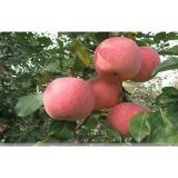 Quercetin, epicatechin, and procyanidin B2 Nutrition Fuji Apple important flavonoids in apples