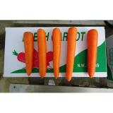 Fresh Sweet Red-Orange Organic Carrot Containing Rich Carotenes And Vitamin-A