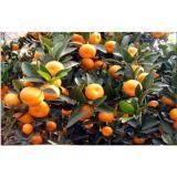 Yellow Citrus Fresh Mandarin Oranges