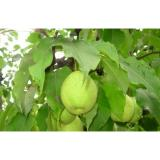 Sweet Green Cold Store Fresh Pears With High Energy , Vitamin C